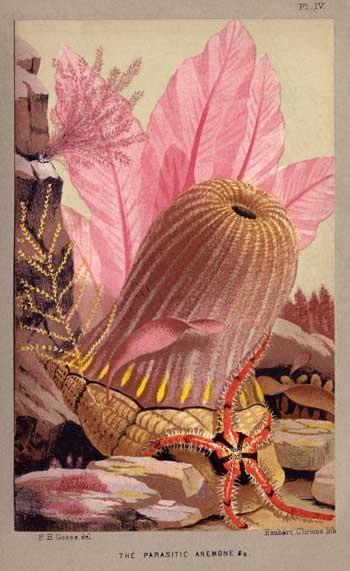 hermit crab parasitic anemone