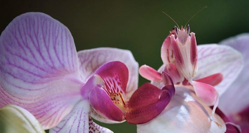 'Walking into a living grave': the Orchid Mantis & Alfred Russell Wallace